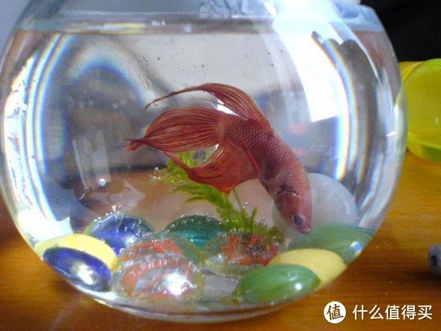 这就是我大学的时候养的马尾斗鱼,那时候还无知的用了圆鱼缸哎