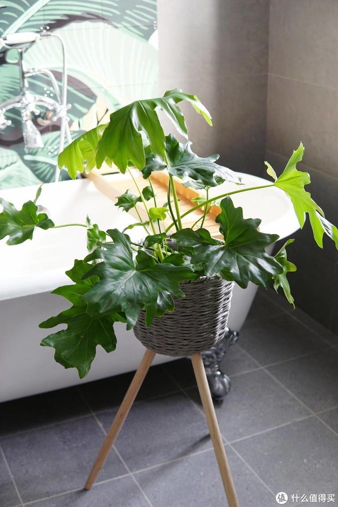 12款居家观叶植物推荐:生活不能没有绿,总有一款适合你