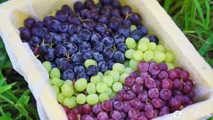 十多款葡萄你吃过哪几种?~葡萄测评大放送!~