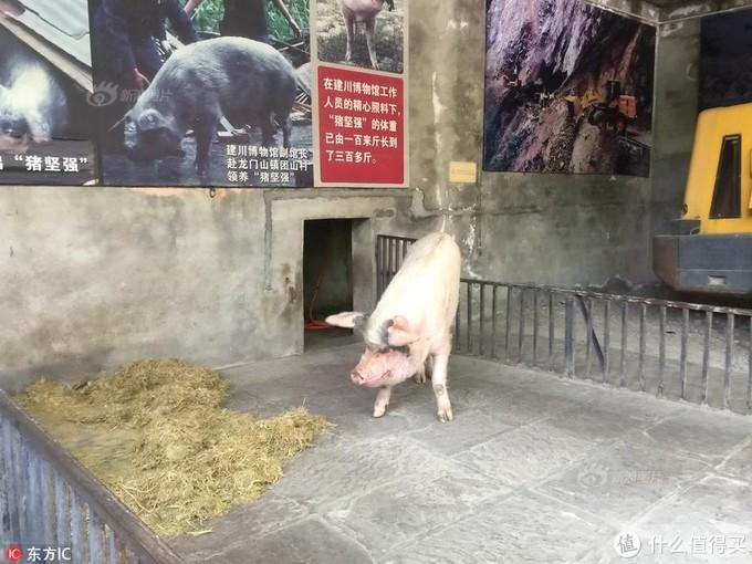 猪的贡献仅是提供了猪肉吗?