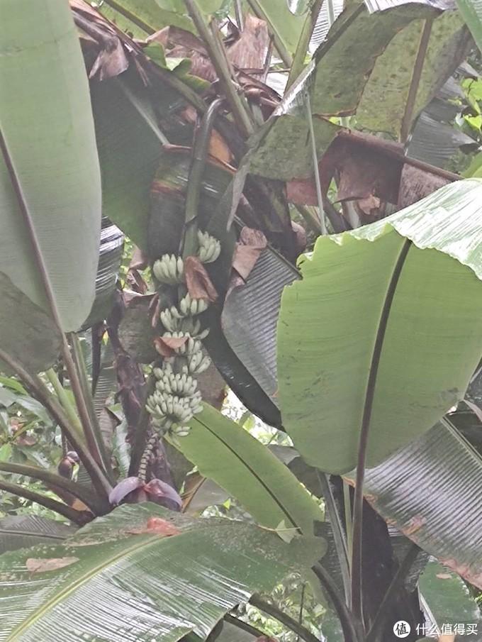 路边的野芭蕉,可惜太远够不到,叶子能达到两米长,作为一名北方人,第一次见到这么长的叶子