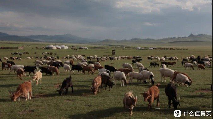 羊来了!蒙古国捐的3万只羊终于启动捐赠流程