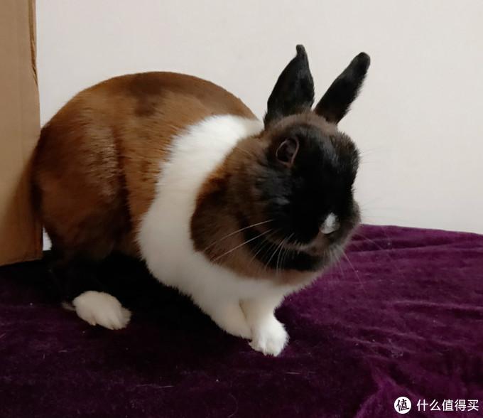 真人秀猫狗小宠,我为什么更推荐你养兔?从喂养难易度、成本、家居环境