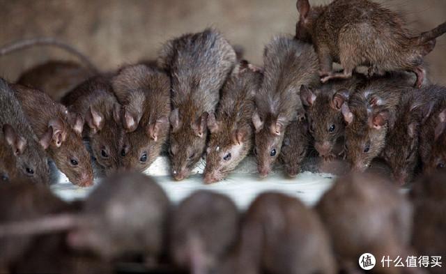 老鼠床头过,半夜更来疯!老鼠,你快滚蛋啊啊啊啊啊啊!!!!!