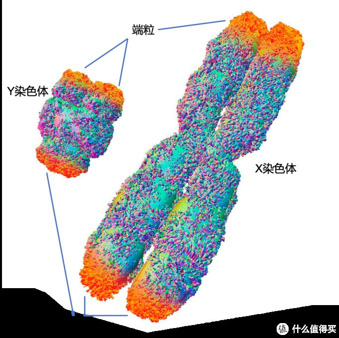 XY染色体及端粒示意图(图片引自网络后再制作)