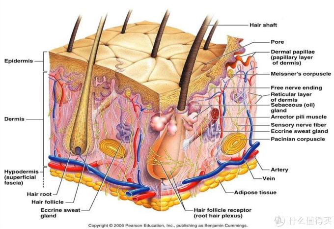 皮肤结构示意图(图片引自网络)
