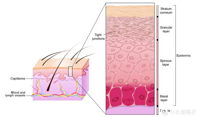 皮肤结构中表皮结构示意图(图片引自文献《Skin care in the aging female: myths and truths》)