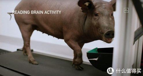 植入了芯片的猪,已有快3个月,目前很健康,十分活泼。