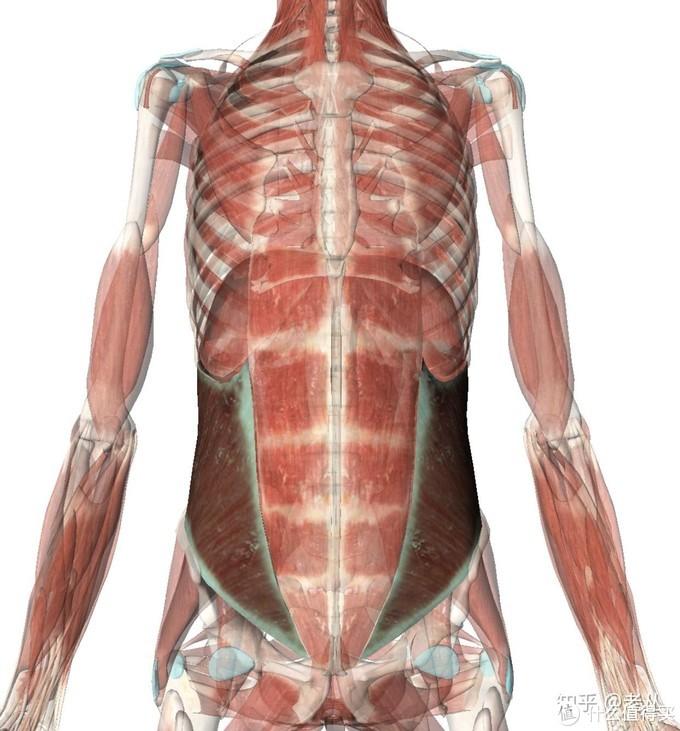 腹内斜肌(解剖)
