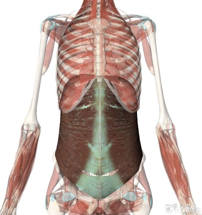 腹横肌(解剖)