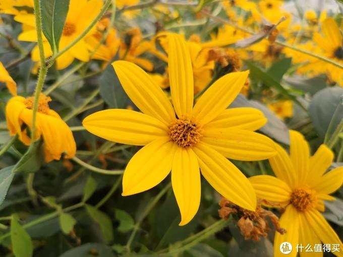 米9手机镜头下的洋姜——其黄色花挺美