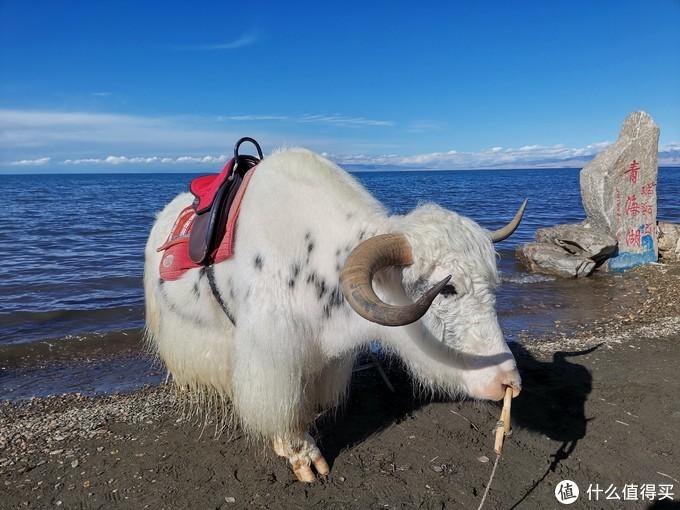 青海湖边上班的白牦牛