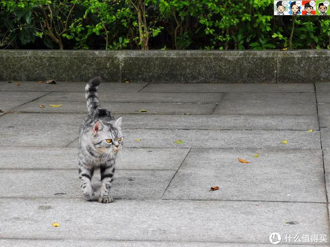 一只黑白相间的喵星人迈着优雅的猫步在山顶招摇过市,