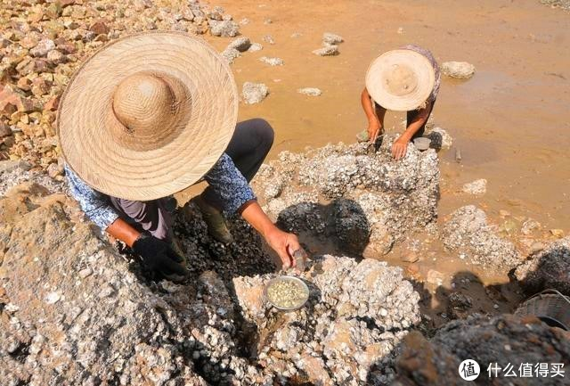 这种美食一斤上百元,老渔民捡到简直如获至宝