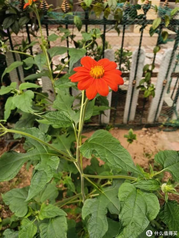 今年气温不低,从播种到开花,只用了40天