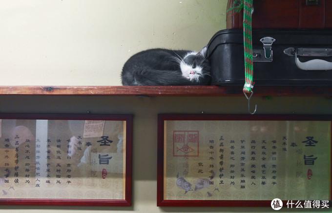 厦门猫咪博物馆的猫,奉旨睡觉