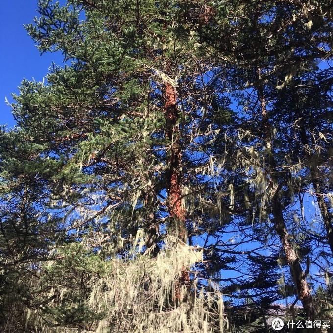 党岭的植被蛮多都挂着这种,寄生植物,有听说空气好的地方会出现。