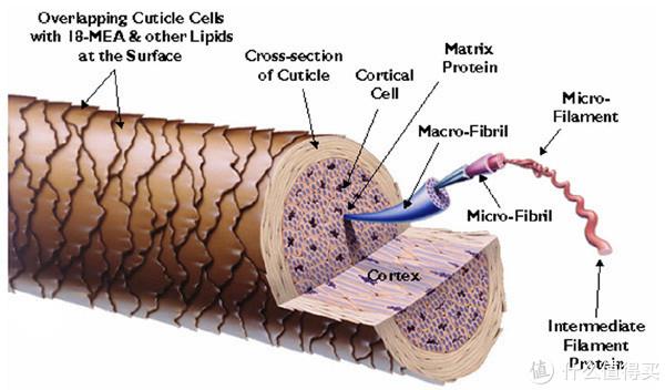 头发纤维的基本结构