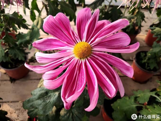 品金秋菊运,享美好生活——米9手机来带您赏菊花