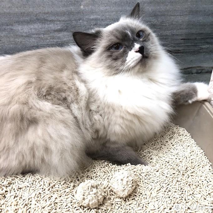 用了萌克豆腐猫砂,我家猫爱上了上厕所