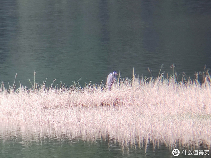 黑冠白颈鹭