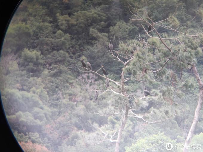 一棵长鸬鹚的树