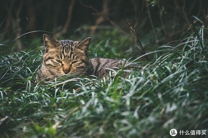 小区里慵懒的野猫.EOS R