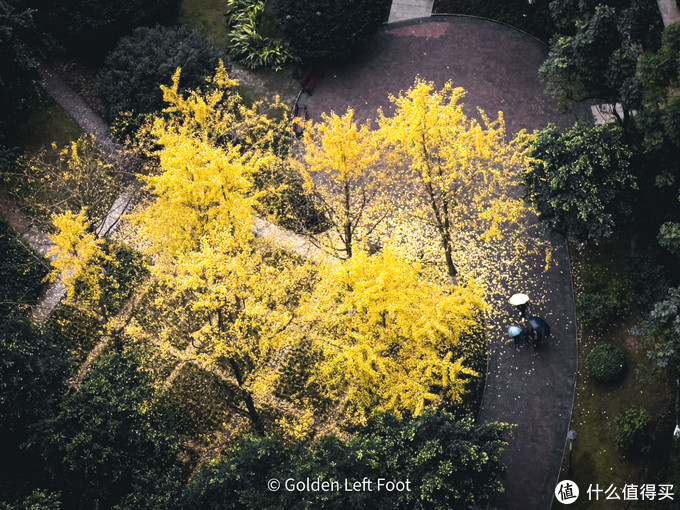 小区的银杏树开始掉叶子了。12 PRO MAX