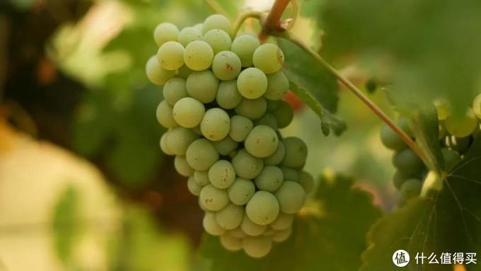 【产区指南】南非:葡萄酒未来趋势