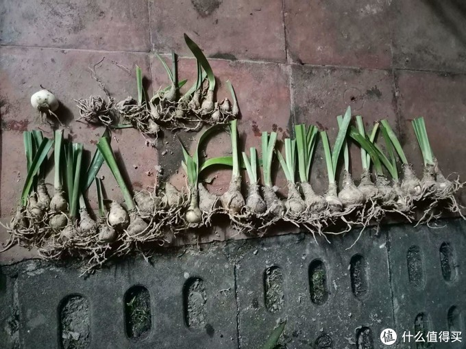 网上买回来,大概就这个样子,可能连叶片都全部剪下来的,别怕,就算单独一个球根,也是能开花,只是开花后消耗极大,会慢慢长出叶子,自己养球