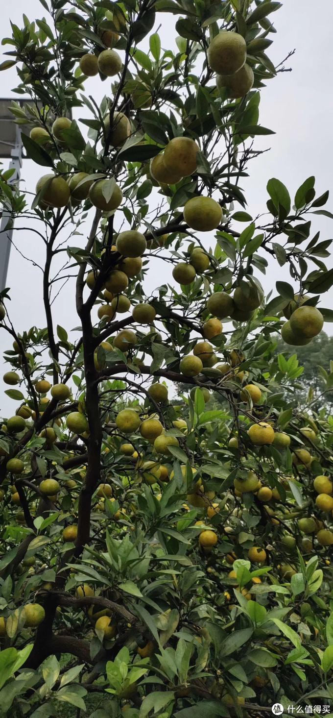 柚子成熟的季节