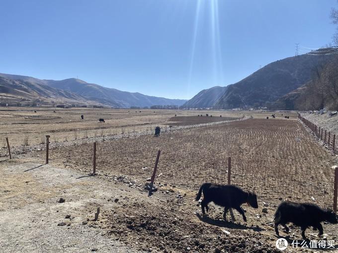 牦牛,这里的牦牛攀爬能力无敌了,大于45度的斜坡随便上,稳的一笔。