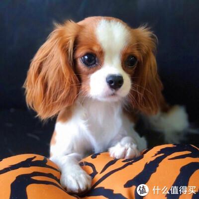 狗缺钙表现有哪些?选择狗狗钙片要注意什么?