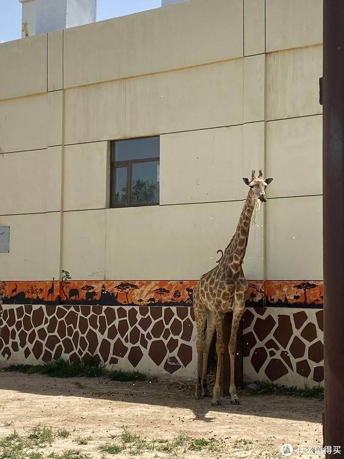 进食的长颈鹿