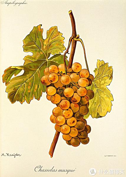 白葡萄品种夏斯拉