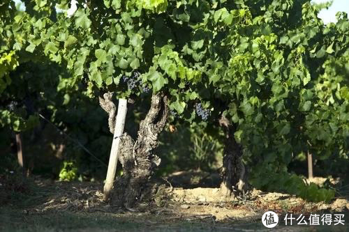 白葡萄品种克莱雷特