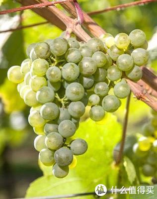 白葡萄品种满胜
