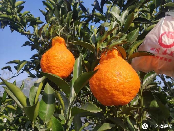 这才是丑橘,丑柑,丑八怪,不知火。让他们在树上再长一个月吧,现在吃太酸了。