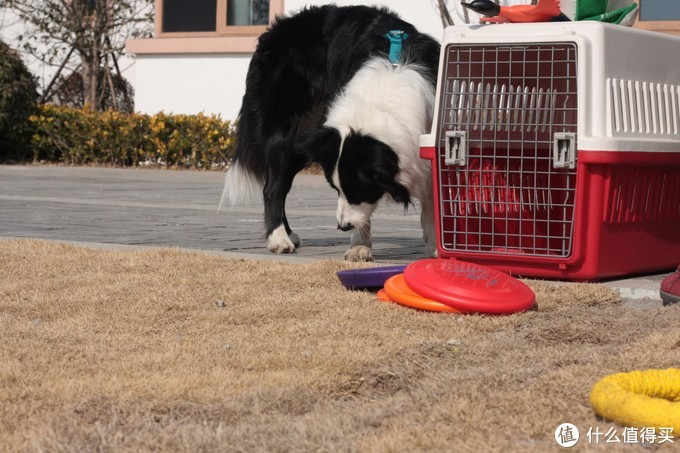 聊聊我家的宠物--边境牧羊犬(二)