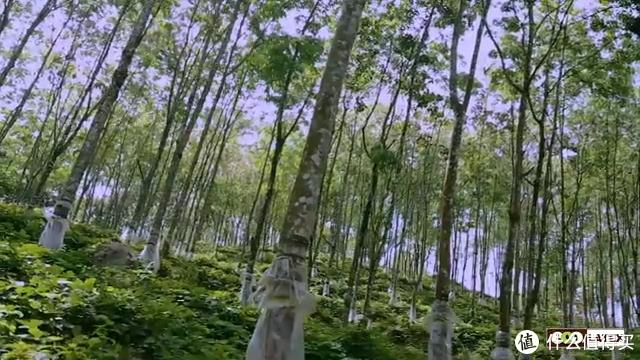 LALAN橡胶树