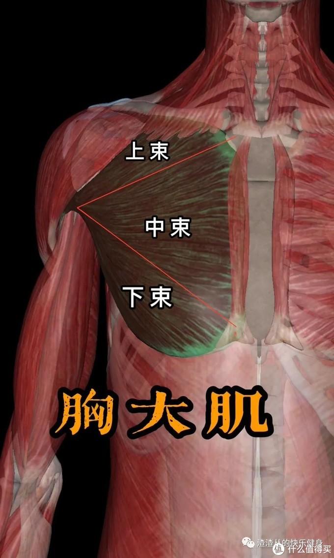 五分化练胸系统解说|胸部训练不分性别,练过都说好!