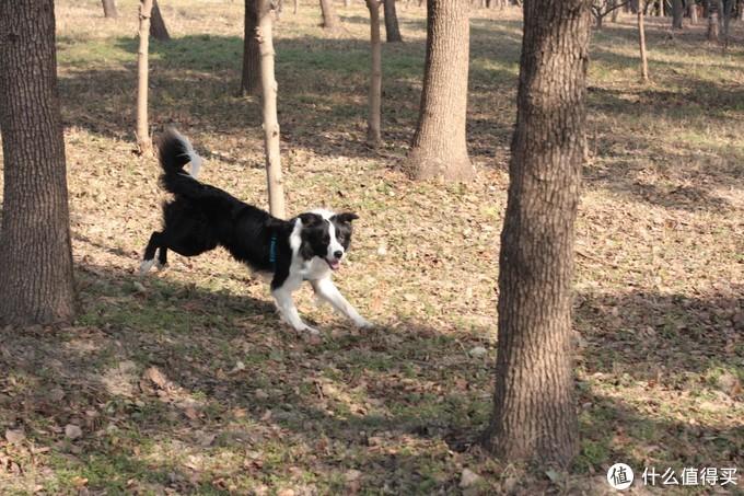 聊聊我家的宠物--边境牧羊犬(三)