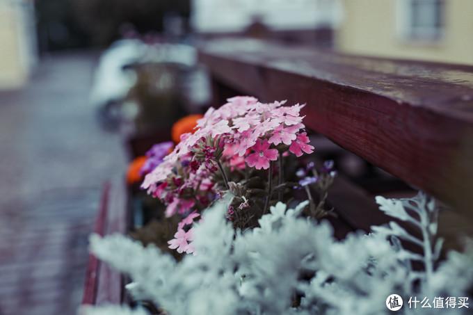 爱沙尼亚塔林路边种的花