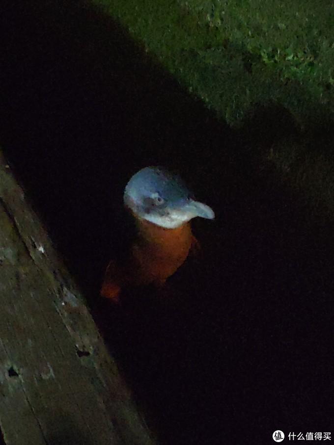 营地里晚上可以看到很多蓝眼企鹅,非常稀有,胆小,勿吓勿投喂