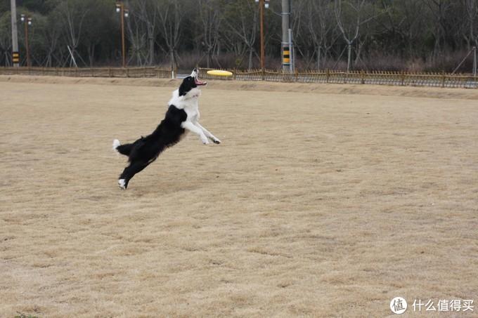 聊聊我家的宠物--边境牧羊犬(四)