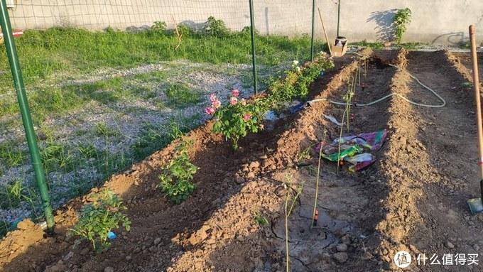 从0开始打造我的智能小菜园,鲜花驾到,像青涩少女的脸蛋,粉粉嫩嫩,超级能开花 (栽花、催芽)