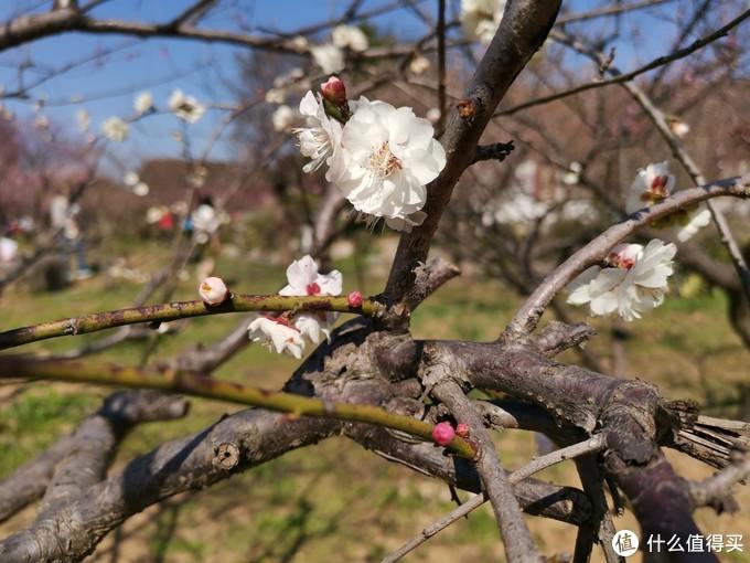 游园惊梦:春来到,赏梅正当时
