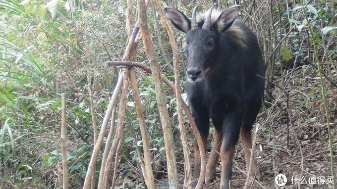 鬣羚 图片源自网络图片