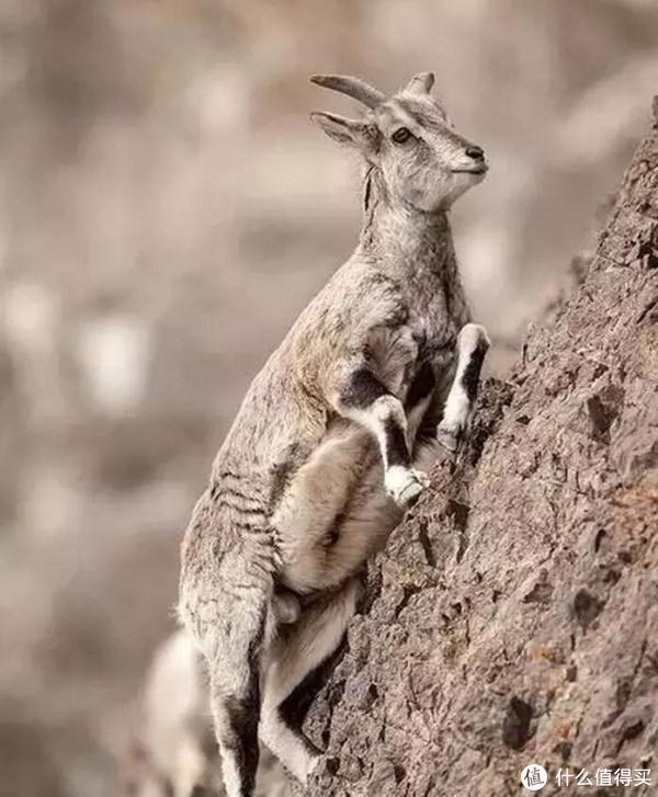 岩羊 图片源自网络