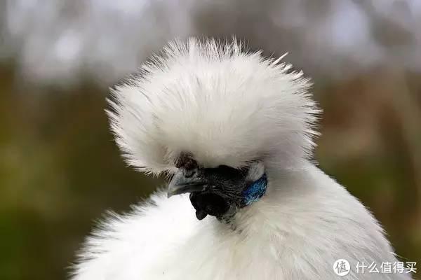 丝羽乌骨鸡